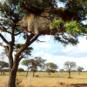 Communal nest of sociable weavers in Africa