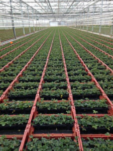 Tinytag View 2 data loggers monitoring growing conditions in glasshouses